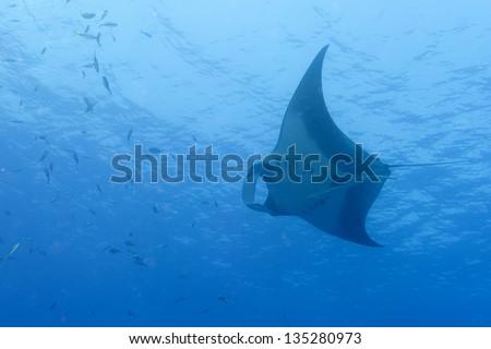 A manta in the deep blue sea - stock photo