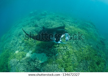 A manta ray (Manta alfredi) cruises slowly over a shallow cleaning station in Yap, Micronesia.  Mantas often come to cleaning stations to have small fish remove parasites. - stock photo