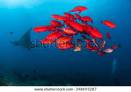 A manta ray swimming far behind a group of bright red fish - stock photo