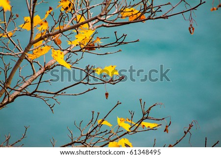 A maple tree in fall against a turquoise background. - stock photo