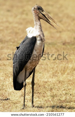 A marabou stork (Leptoptilos crumeniferus) on the Masai Mara National Reserve safari in southwestern Kenya. - stock photo
