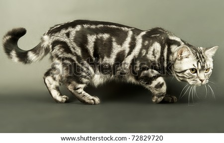 A marble british cat secretly sneaking over a grey background - stock photo