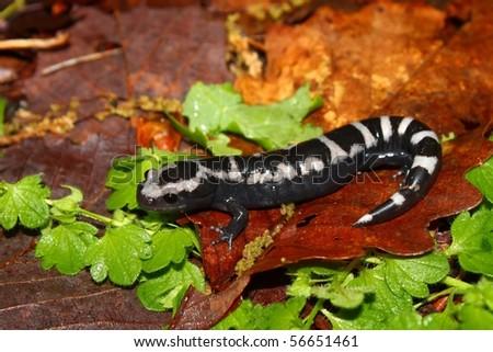 A Marbled Salamander (Ambystoma opacum) at Monte Sano State Park - Alabama. - stock photo