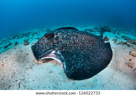 A Marbled stingray (Taeniura meyeni) laying on the sandy sea floor near Cocos Island has been recently bitten by a shark. - stock photo