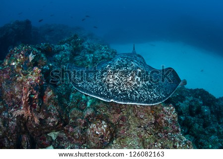 A Marbled stingray (Taeniura meyeni) swims across a rocky reef near Cocos Island, Costa Rica.  This area is known for its large shark population. - stock photo
