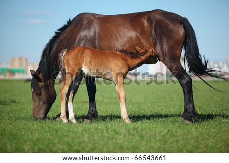 A mare and her offspring in a green field of grass. City on background - stock photo