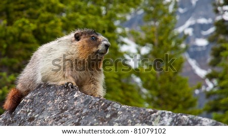 A marmot in Banff National Park, Alberta, Canada rests on a rock. - stock photo