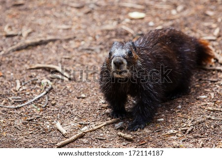 A marmot looking at the camera found along the Cascade Canyon trail in Grand Teton National Park, Wyoming - stock photo