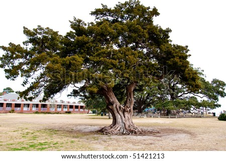 A massive old oak tree in a coastal park under a white sky - stock photo