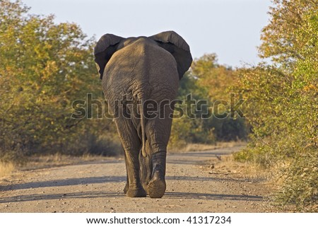 A mature Bull looking for females - stock photo
