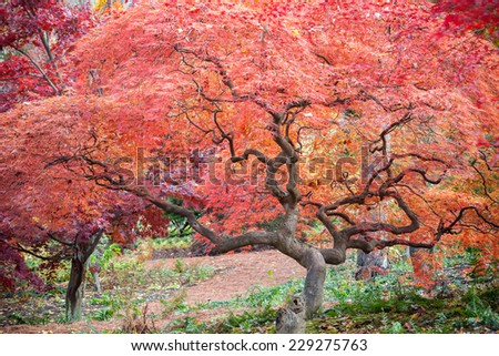 A mature Japanese maple tree with fall colors. - stock photo