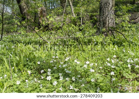 A meadow filled with wood anemones and trees in the background. - stock photo