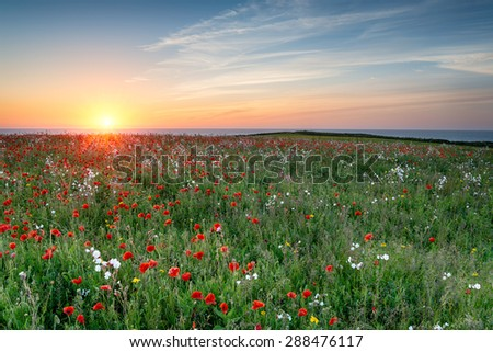 A meadow of wildflowers and Poppies above Polly Joke beach at West Pentire in Cornwall - stock photo