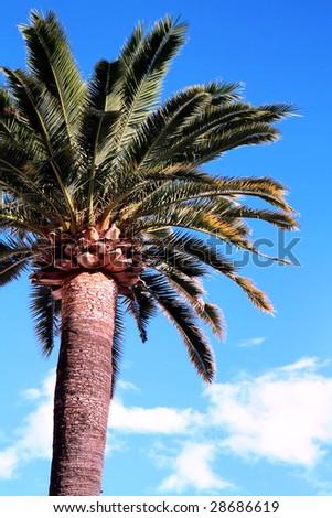 A Mediterranean palm tree against blue sky. - stock photo