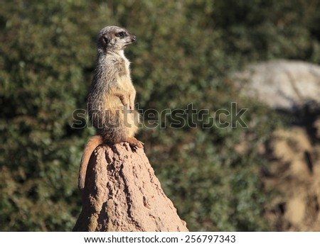 A meercat standing at attention on a rock. - stock photo
