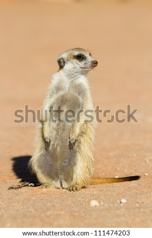 A meerkat sitting upright in the sunlight - stock photo