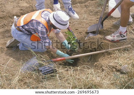 A member of the Clean & Green environmental group of the Los Angeles Conservation Corps plants a tree in a hole dug by another worker  - stock photo