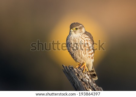 A Merlin with the yellow 15 MPH signboard in the background putting it in the spotlight. - stock photo