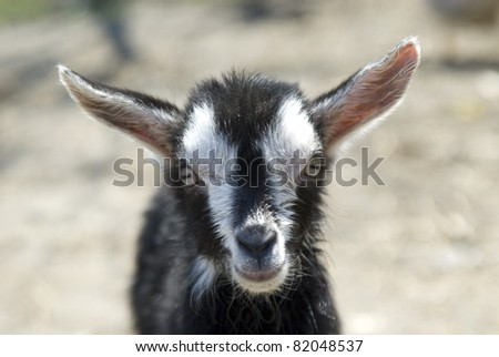 A milka goat stares up the camera - stock photo