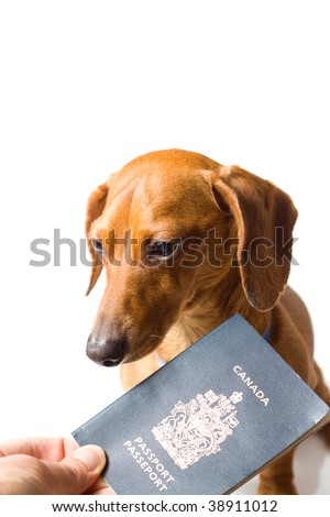 A miniature Dachshund, being handed a Canadian passport, isolated on white. - stock photo