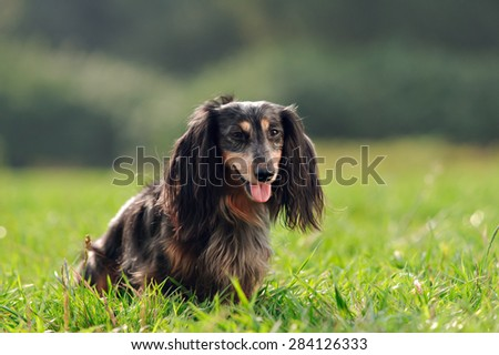 a miniature long haired dachshund - stock photo