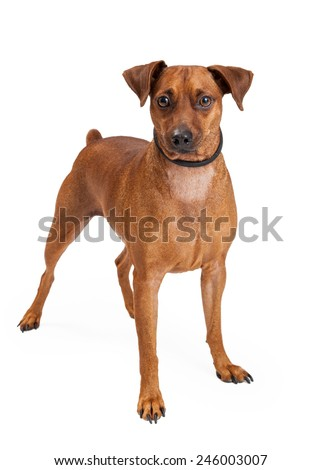A Miniature Pinscher Mix Breed Dog standing while looking into the camera.  - stock photo