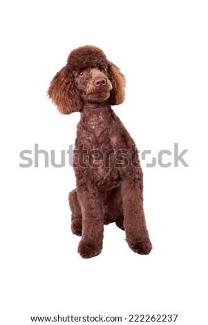 A Miniature Poodle Puppy isolated on a white background. - stock photo