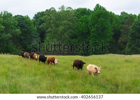 A mixed herd of cattle cows in the green pasture field - stock photo