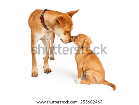 A mixed Shepherd breed dog mother and her puppy touching noses - stock photo