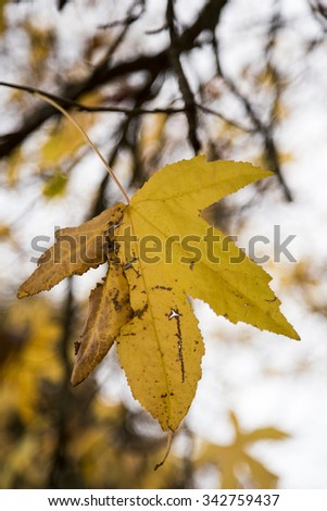 A mixture of yellow leaves ready to fall. - stock photo
