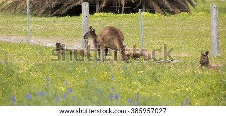A mob of Western Grey kangaroos macropus fuliginosus grazing in the green grassy field near Australind , Western Australia on a cloudy afternoon in spring  are a popular Australian icon. - stock photo