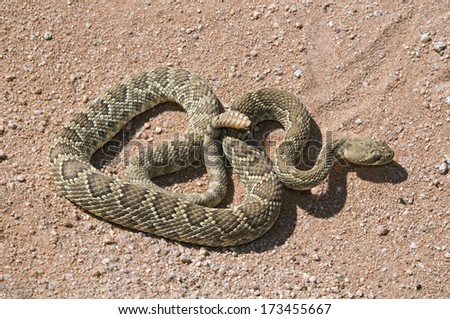 A Mojave Green Rattlesnake (Crotalus Scutulatus); Mojave Desert, California, Usa - stock photo