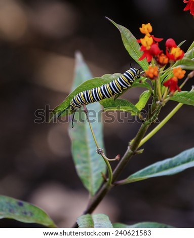 A Monarch Butterfly Caterpillar eats the leaves of a Milkweed. - stock photo