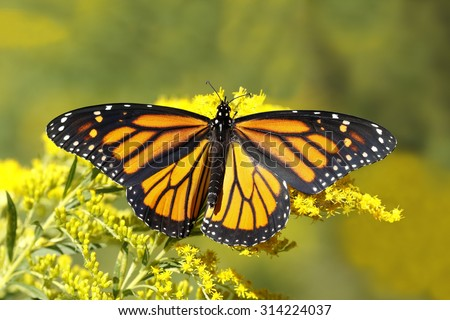 A Monarch Butterfly (Danais plexippus) fuels up on nectar from a Canada Goldenrod in September to prepare for its southward migration to Mexico - Grand Bend, Ontario, Canada  - stock photo