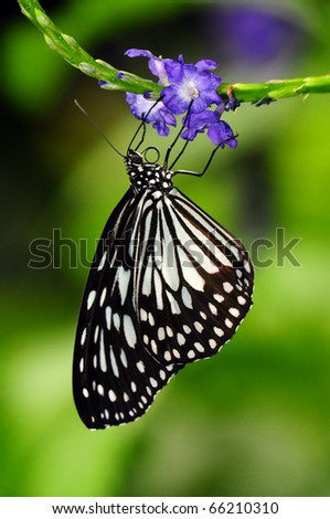 a monarch butterfly (Order Lepidoptera) looking for nectar - stock photo