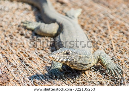 A monitor lizard on a thatch roof - stock photo