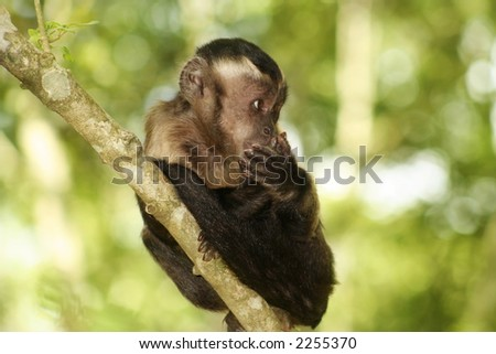 A monkey in a tree.  Shallow D.O.F ? monkey in focus, background are blurred - stock photo