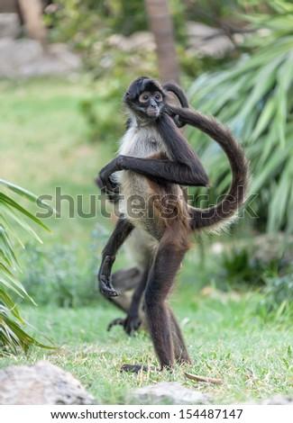 A monkey in Xcaret zoo - Yucatan, Mexico - stock photo