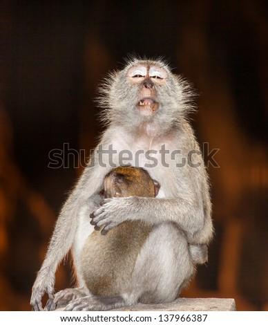 a monkey mother breastfeeding baby at Batu caves Malaysia - stock photo