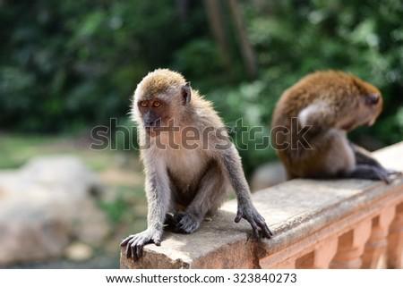 A monkey waiting for food near the walking street at Kuantan, Pahang - stock photo
