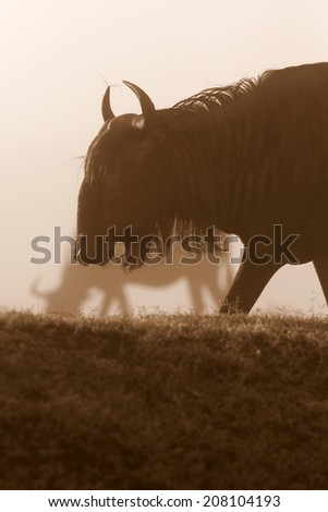 A monochrome photo of wildebeest antelope in the great Migration. Kenya - stock photo