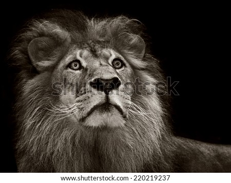 A monochrome portrait of a dominant alert male maned lion - stock photo