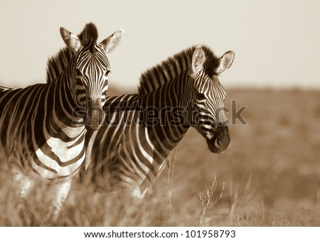A monochrome portrait of Burchell Zebra in Addo elephant national park,South Africa - stock photo