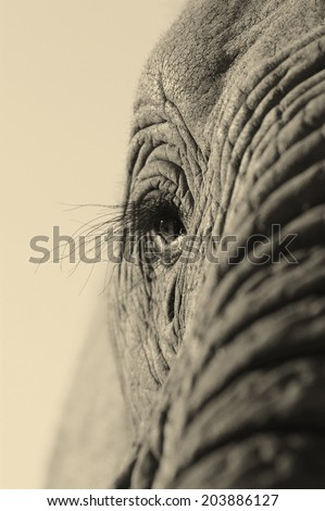 A monochrome tone close up photo of a elephants eye, eyelashes, wrinkles and face. Taken in South Africa.  - stock photo