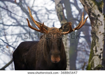 a moose in the woods - stock photo