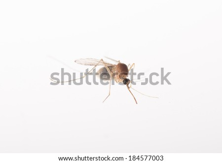 A mosquito isolated on white background - stock photo