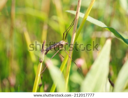 A mosquito nematocera (Tipulidae or tipula) on grass, on green background  - stock photo