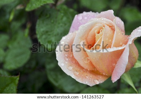 A most perfect peach rose - stock photo
