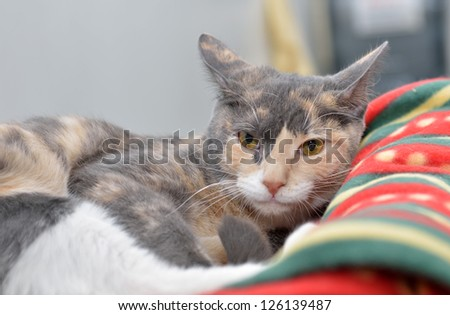 A mostly grey, but multi-colored, cat rests on a fleece blanket - sleepy - stock photo