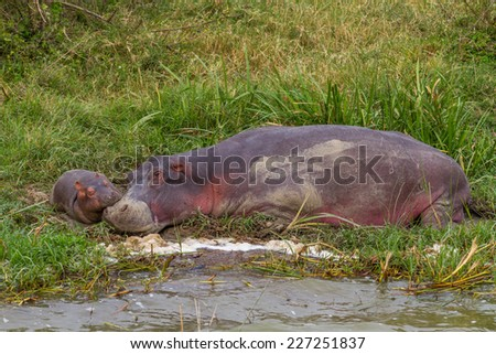 A mother and baby hippo sleep near the Kazinga Channel in Uganda. - stock photo